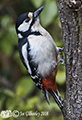 Great Spotted Woodpecker in garden 2nd April 2018