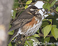 Redwing in our garden 2nd March 2018