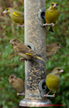 Greenfinches in garden