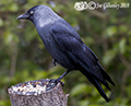 Jackdaw in our garden 7th April 2018