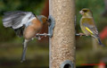 Garden Birds at Feeder 5th February 2014