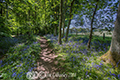 Bluebell Woods by Roslin 28th May 2018