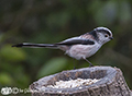 Brambling and Long Tailed Tits in our garden