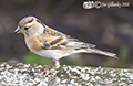 Bramblings in our garden 17th February 2018