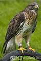 Falconry Scotland May 2018
