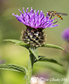 Thistles and Bees 26th July 2018