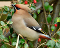 Waxwings in Loanhead - April 2013